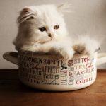 猫を飼うなら雑種と純血種(血統)どっちが飼いやすいの?【違いを解説します】