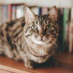 猫の避妊・去勢手術の時期や料金はどれくらい?【手術の流れや方法も解説します】